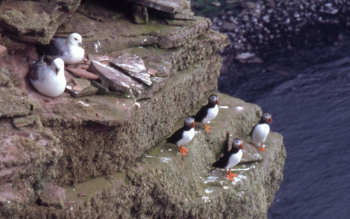 Puffins and Fulmars at the Mull of Galloway